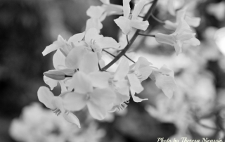 blackandwhite_kale_blossoms1000